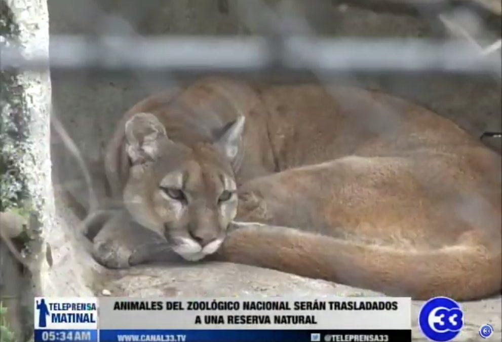 Animales del Zoológico Nacional serán trasladados a una reserva natural